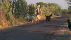 India Rajasthan Luni tall herdsman urges sheep up road 8 Stock Footage