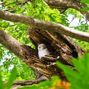 Spotted owlet in hollow of a tree Stock Photos