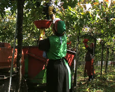 GRAPE HARVEST grape pickers working Stock Footage
