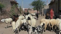 India Rajasthan Luni woman in sari herds sheep on dirt road 9 Stock Footage