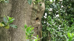 Green Woodpecker in/out nest hole + feeds young Stock Footage