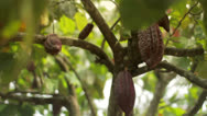 Stock Video Footage of A cacao fruit on a cacao tree