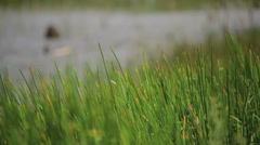 Reeds in the wind Stock Footage