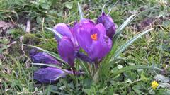 Spring Crocus Stock Footage