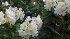 Caucasian rhododendron blooms in the woods Stock Footage
