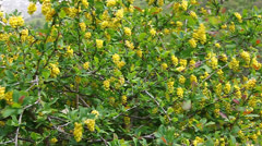 Barberry bush blooming in the wind Stock Footage