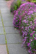 beautiful aubrieta kitte - stock photo