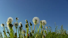 Dandelions on blue sky Stock Footage