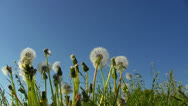 Stock Video Footage of dandelions on blue sky