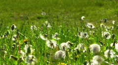 dandelions on grass background - stock footage