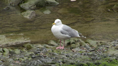 Adult Herring Gull on Banks of River Lyn in Lynmouth Stock Footage