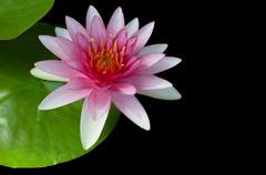 Pink water-lilly or lotus blooming over black background Stock Photos
