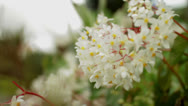 Stock Video Footage of White flowers in the Wind