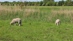 Lambs on a grass field Stock Footage