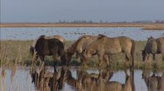 Konik horses grazing in marsh - wide shot - migratory birds in distance Stock Footage