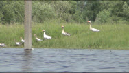 Geese go to the lake Stock Footage