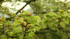 Buds at tree Stock Footage
