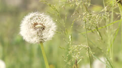 Blowball Stock Footage