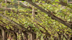 Vine Growing Stock Footage