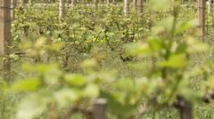 Vine Plants Stock Footage