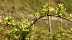 Vine Plantation Stock Footage