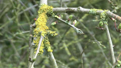Lichen on Budding Branch in Spring Stock Footage
