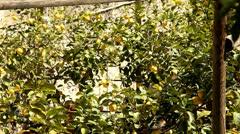 Lemon trees Stock Footage