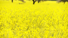 Rapeseed - stock footage