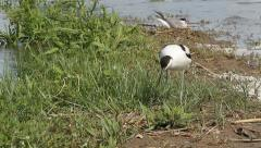 Pied avocet and common tern on nest Stock Footage