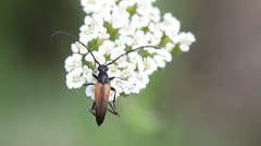Long horn beetle on a white flower Stock Footage