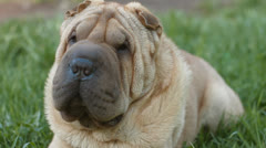 sharpei dog - stock footage