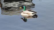 Spring bright mallard duck on a smooth surface of water Stock Footage