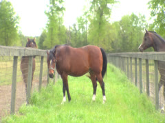 Three Horses Seperated By a Fence 3 Stock Footage