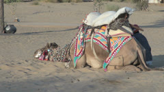 India Rajasthan Manvar prone camel naps next to resting rider  Stock Footage