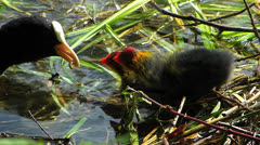Coot chick water bird breed season baby wait to be feed in water Stock Footage