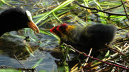 Stock Video Footage of Coot chick water bird breed season baby wait to be feed in water