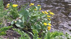 Marsh Marigold Stock Footage