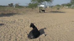 India Rajasthan Thar desert goats rest in sandy pasture  Stock Footage