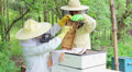 Bees on honeycomb. Honey harvest. Beekeeper removes bees from the frame. Footage