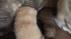 Cat feeding kittens Stock Footage
