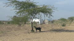 India Rajasthan Thar desert goat tethered to shade tree 10 Stock Footage