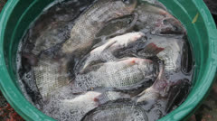 Tilapia in the Water Stock Footage