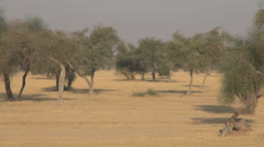 India Rajasthan sandy earth with scant shade under trees Stock Footage