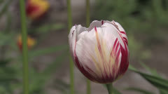 Red and white tulips swaying in the wind, with the insect on Stock Footage
