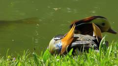 Mandarin duck Wood duck Perching duck water bird resting Stock Footage