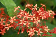West indian jasmine. in thailand most found in red color species. Stock Photos