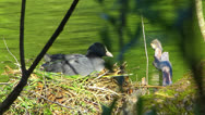 Stock Video Footage of Coot Water Bird building nest nesting clutch in water idyllic