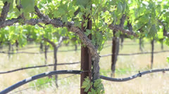 Grapevine in a Vineyard during Spring Stock Footage