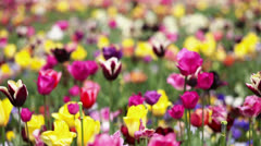 colorful tulips and flowers in garden - stock footage