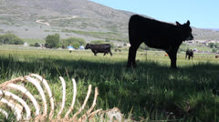 Dead Cow In a Field Showing Death and Life  Stock Footage